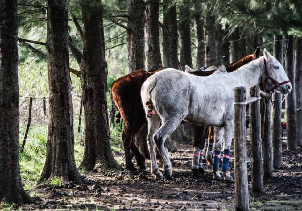Caballo de Polo Argentino