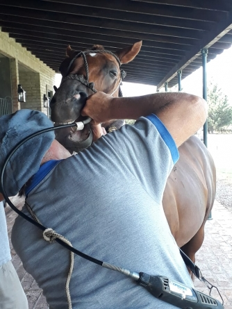 How to take care of the polo horse's teeth?