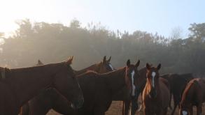 What makes a good polo horse?