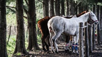 POLO ARGENTINO HORSE, A UNIQUE SPECIMEN