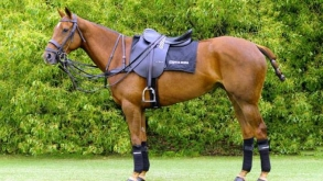 How to prepare the Horse for a Polo Match
